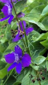 Summer Purple 6a