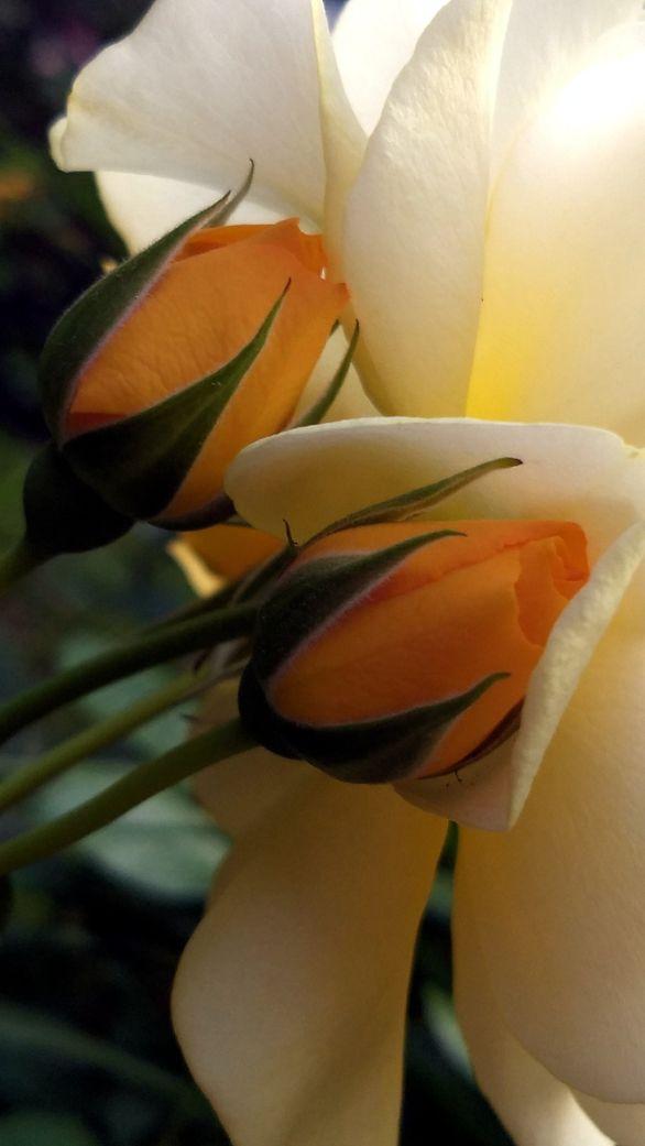Rose, Yellow 3b