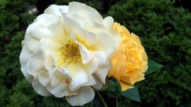 Rose, Yellow 4a