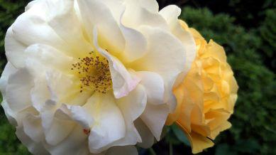 Rose, Yellow 4b