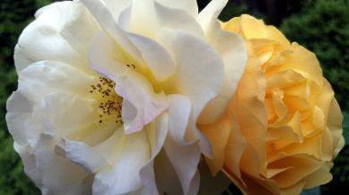 Rose, Yellow 4c