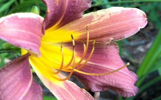 Daylily, Purple A