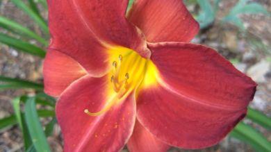 Daylily, Red A