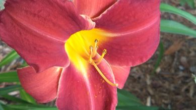 Daylily, Red C