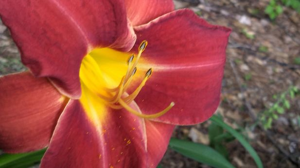 Daylily, Red D