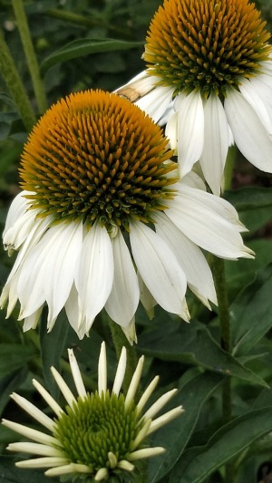 Coneflowers, White A