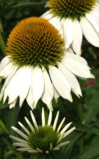 Coneflowers, White B