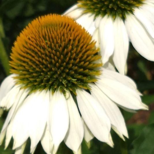 Coneflowers, White C
