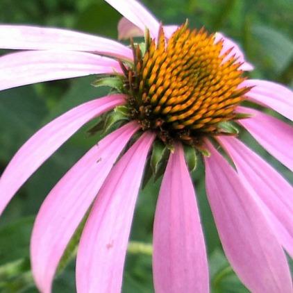 Coneflower, Purple 1