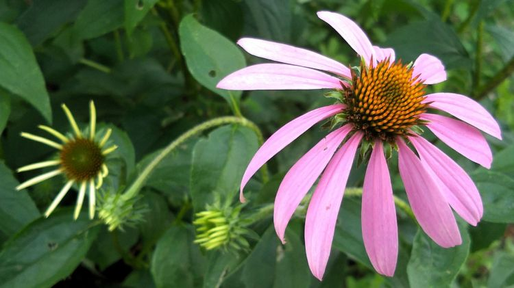 Coneflower, Purple 2