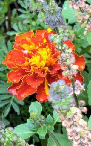 Marigold A