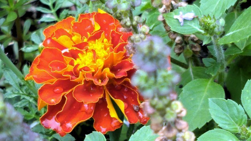 Marigold B
