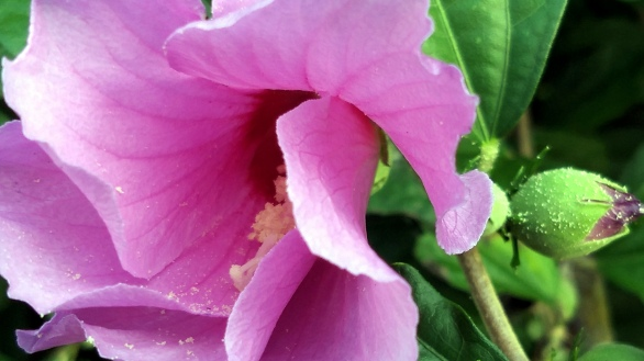 Hibiscus, Purple 2a