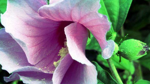 Hibiscus, Purple 2a (alt)