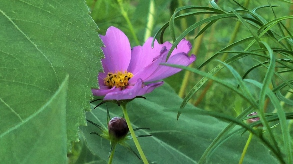 Mexican Aster 2a