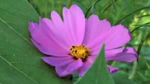 Mexican Aster 1a