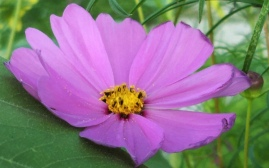 Mexican Aster 1d