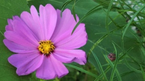 Mexican Aster 1c