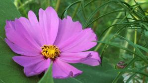 Mexican Aster 1b