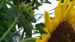 Sunflower, Generations 5