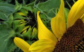 Sunflower, Generations 2