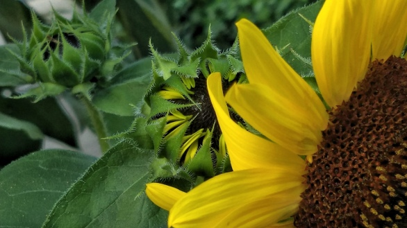 Sunflower, Generations 1