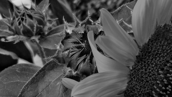 Sunflower, Generations 1 (Monochrome)