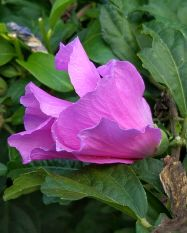 Hibiscus, Purple 3b