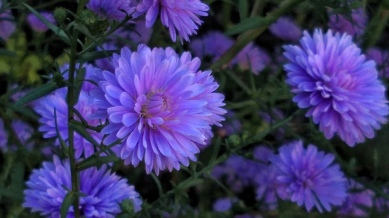 Purple Aster 3