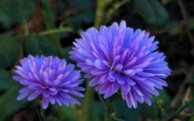 Purple Aster 7