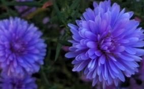 Purple Aster 6