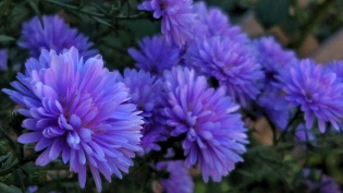 Purple Aster 5