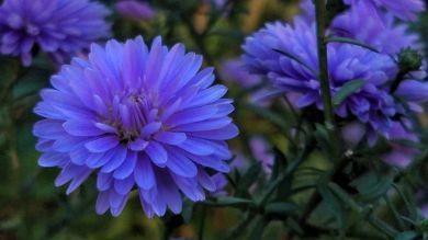 Purple Aster 1