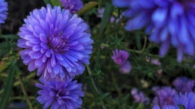 Purple Aster 2
