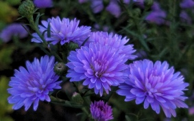 Purple Aster 4