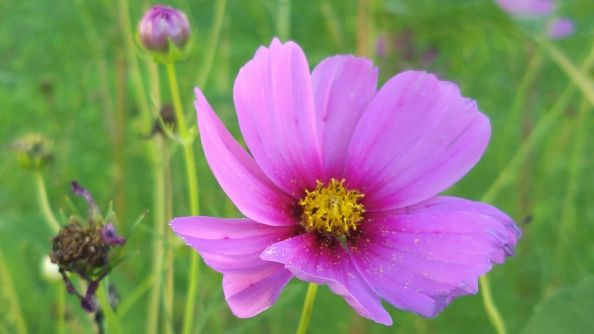Mexican Aster 5