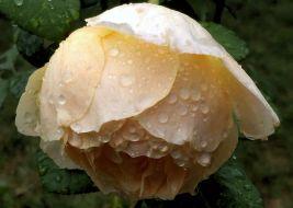 Yellow Rose after Rain 2b