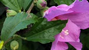 Veiled Hibiscus A