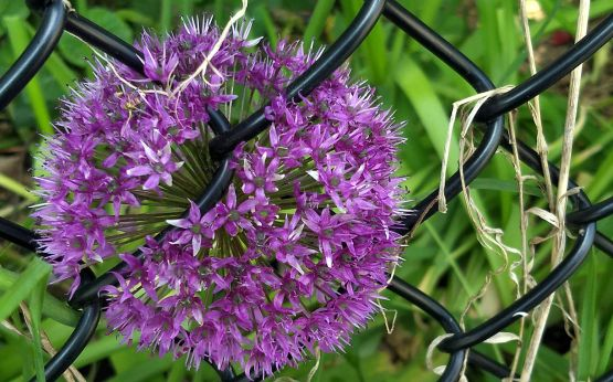 Allium on the Fence 2