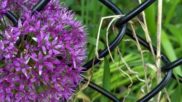 Allium on the Fence 1